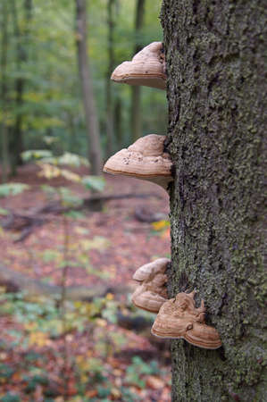 oak tree trunk with tinder fungus photo
