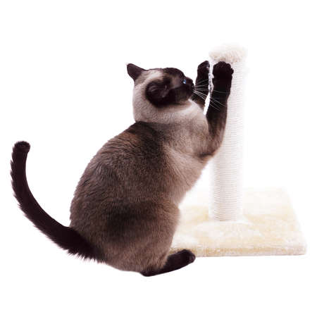 siamese cat with scratcher Stock Photo