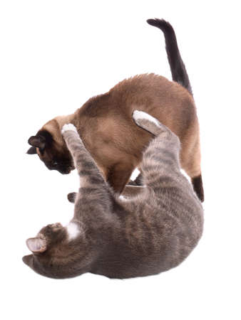 catfight: two cats at play, isolated on white Stock Photo