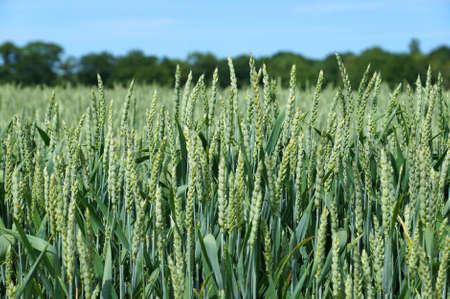 cultivo de trigo: joven cosecha de trigo en primavera Foto de archivo