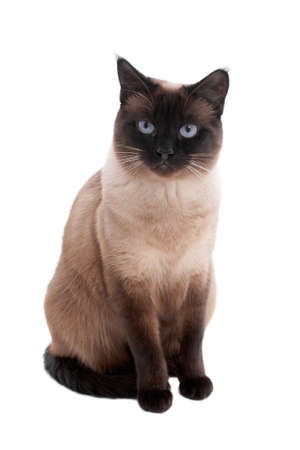 2 year old siamese cat in seal-point photo