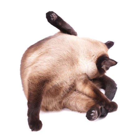 acrobatic: cute siamese cat cleaning itself Stock Photo
