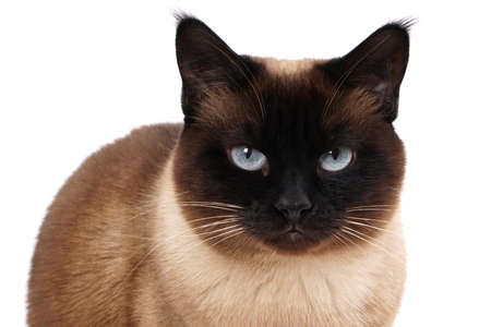 blue siamese cat: portrait of a siamese cat in seal point with blue eyes