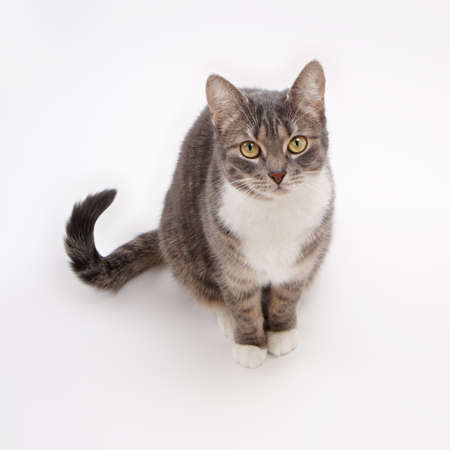 begging: cute gray tabby cat looking up