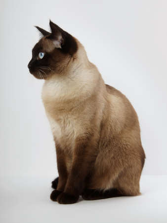 blue siamese cat: side view of a siamese cat in seal point with blue eyes