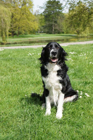 sheep dog: black and white border collie dog sitting in a park