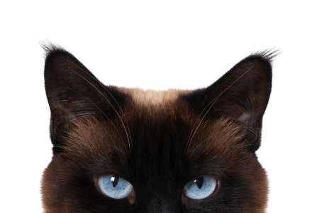 siamese cat with blue eyes peeking isolated on white