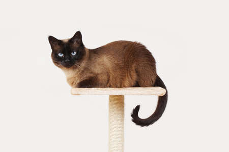 scratcher: siamese cat resting on lookout platform on top of scratching post