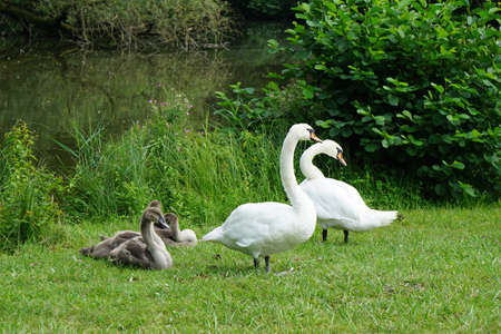 mute swan: white or mute swan family with cygnets Stock Photo