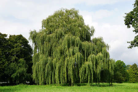 weeping willow: weeping willow tree also known as Babylon willow or salix babylonica