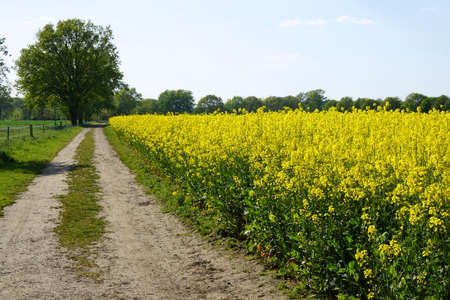 dirt track: rural landscape with dirt track and rapeseed or canola field