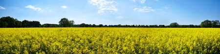 biodiesel plant: Panoramic view of rural landscape with yellow rape, rapeseed or canola field Stock Photo