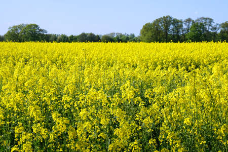 copysapce: rural landscape with yellow rape, rapeseed or canola field Stock Photo