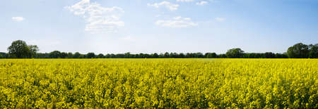 yellow flower tree: Panoramic view of rural landscape with yellow rape, rapeseed or canola field Stock Photo