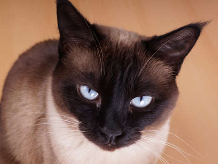 blue siamese cat: siamese cat portrait. purebred with blue eyes and seal point fur.