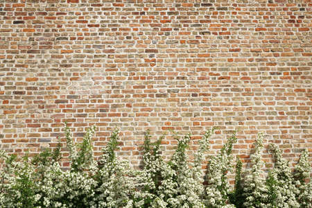 bush with white flowers in front of old brick wall as background with copy space