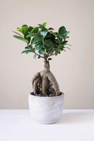 banyan tree: bonsai ginseng or ficus retusa also known as banyan or chinese fig tree