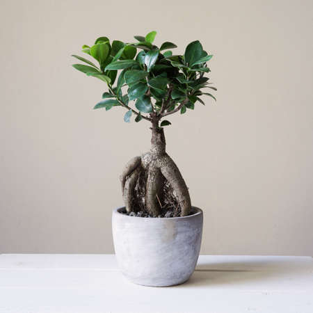 ginseng: bonsai ginseng or ficus retusa also known as banyan or chinese fig tree