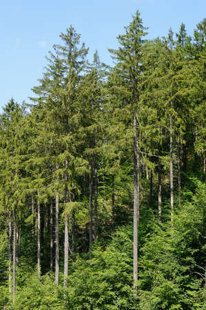 picea: european spruce trees or picea abies. Harz mountains in Germany
