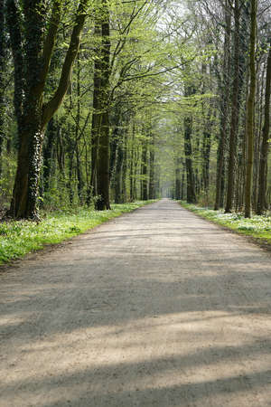 broadleaved tree: empty forest trail in spring. tree-lined path through deciduous or broadleaf woodland. Stock Photo