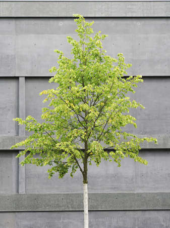 tree in front of concrete building, modern architecture versus nature Stock Photo