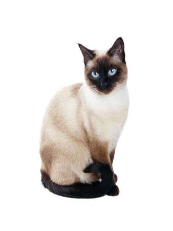 beautiful siamese cat isolated on white background