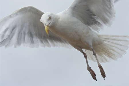 lurking: Seagull approaching Stock Photo