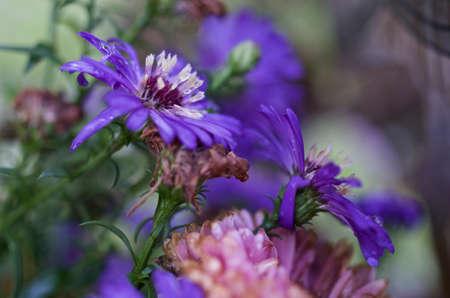 cornflower: withered Cornflower