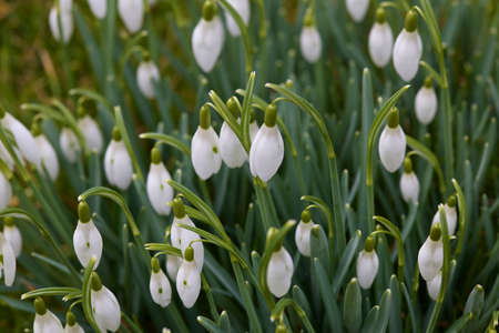 pentecost: many snowdrops