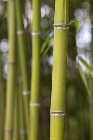 bamboo stick: Bamboo stick in bamboo jungle Stock Photo