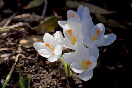 pentecost: white crocus in spring