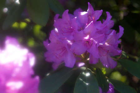 ericaceae: rhododendron blossom