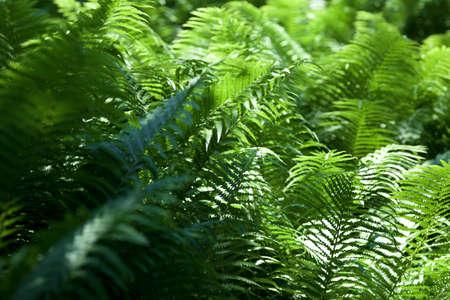 dwarves: fern leaves Stock Photo