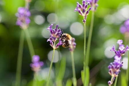 bee on flower: Bee on Lavender flower