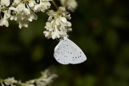 ambrosia: Holy blue butterfly Stock Photo
