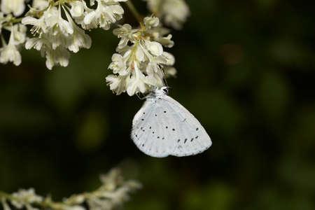 ambrosia: Santo farfalla blu