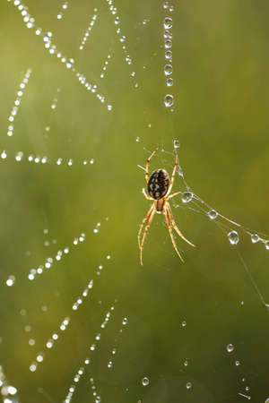 backlight: Araneus spider in web with backlight and dew drops Stock Photo
