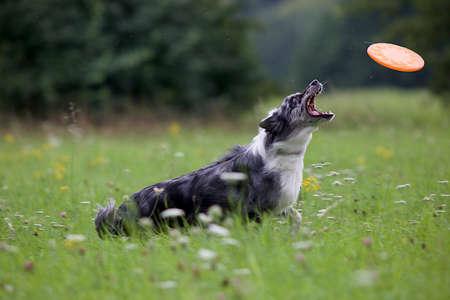 agility: australian shepherd in agility training Stock Photo