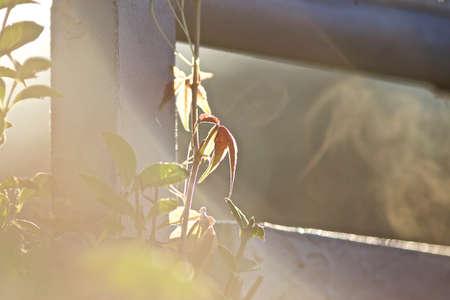 sidelight: wild wine in Morningside Light Stock Photo