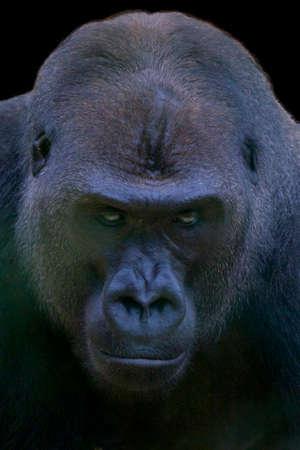 observant: Gorilla