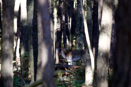 darkwood: Darkwood with young deer Stock Photo