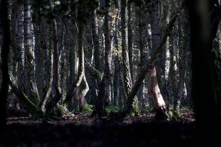 dark: dark forest with birchs