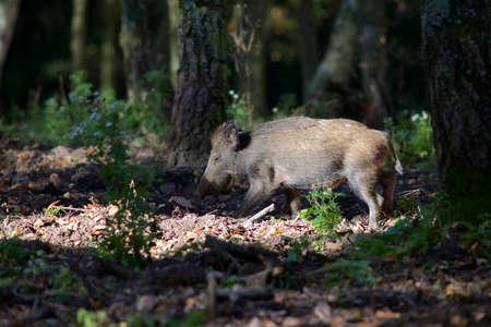 sniff: Running Boar piglet