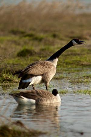 wintering: goose - Branta canadensis Stock Photo