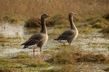 wintering: goose on a lakeshore