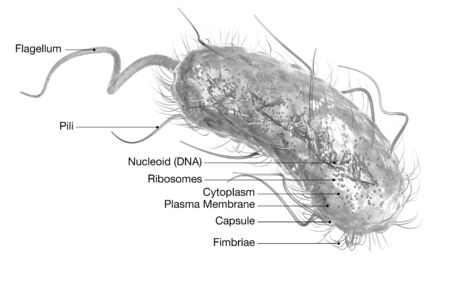 3D Illustration showing Escherichia coli bacteria (E. coli) with Nucleoid (DNA), Ribosomes, Cytoplasm, Flagellum and Fimbriae