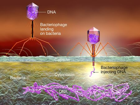 3D Illustration showing bacteriophage attacking E. coli bacteria and injecting DNA