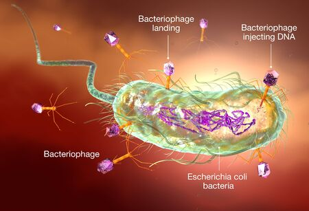 3D Illustration showing bacteriophage attacking E. coli bacteria