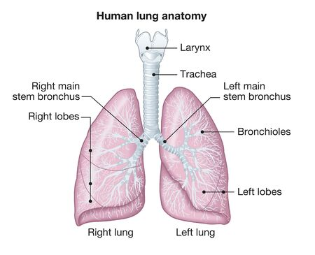 Illustration showing human lungs anatomy with trachea, left and right lobes, br Foto de archivo