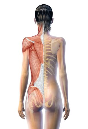 superficial muscles and skeleton of a woman, 3D illustrationtrapezius, 版權商用圖片